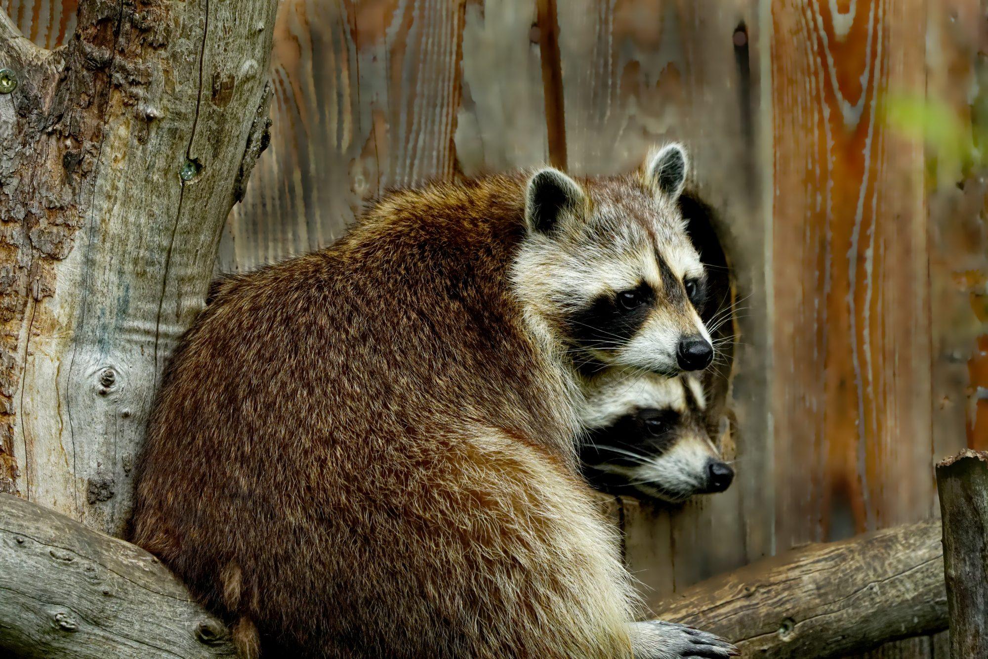 Raccoons | DFW Wildlife Organization