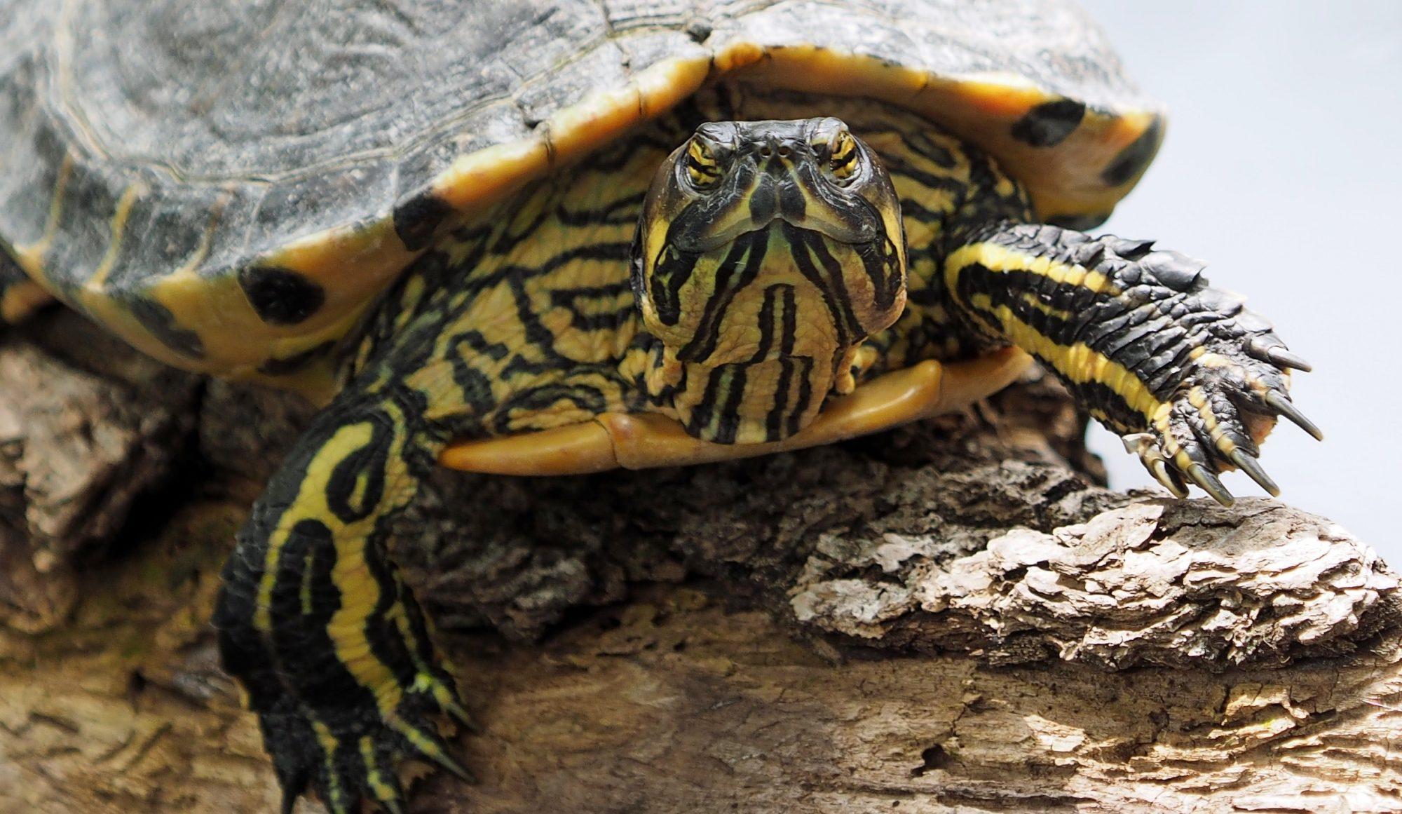 Turtles | DFW Wildlife Organization